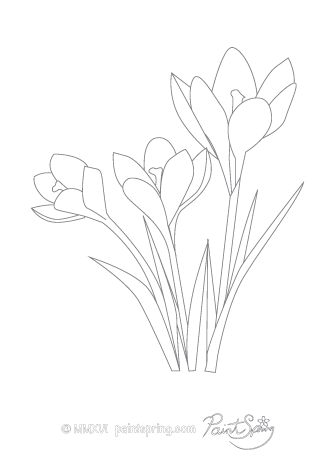 Crocus Flower Adult Coloring Page